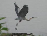 Great Blue Herons grace the Potomac river at Riverbend Park